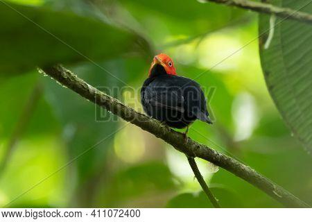 Red-capped Manakin, Pipra Mentalis, Rare Bizar Bird, Nelize, Central America. Wildlife Scene From Na