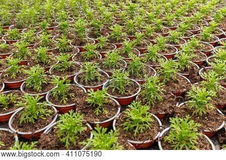 Madeira Marguerite Flower Seedlings Growing In The Plant Nursery In Greenhouse