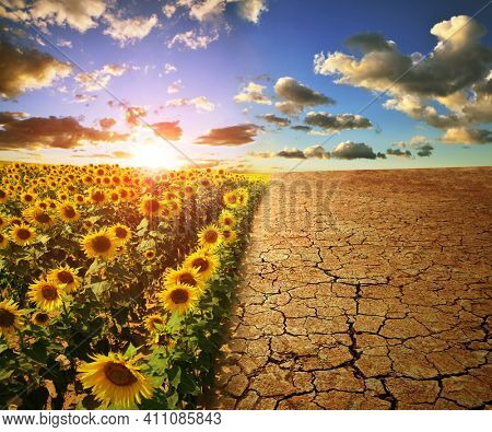 Arid country with cracked soil and field with sunflowers at sunset. Concept of change climate or global warming.