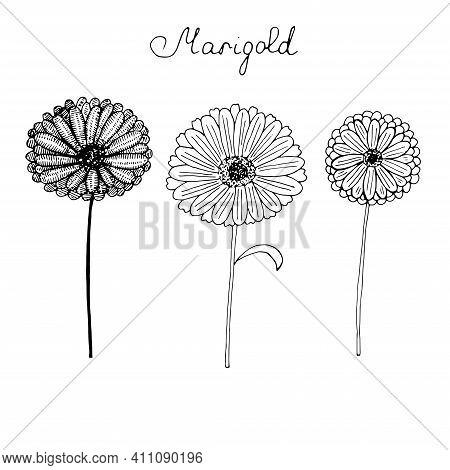 Set Of Marigold Flowers Vector Illustration Hand Drawing Sketch