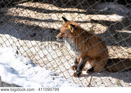 Young Red Fox In The Zoo Enclosure On A Sunny Winter Day Looks At Freedom. Front View