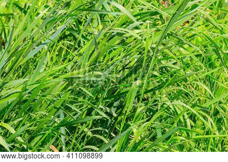 Fresh Green Grass With Drops Of Water After A Rain