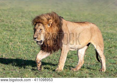 Adult male lion, pantera leo, walking through the open grasslands of the Masai Mara, Kenya. Side view.