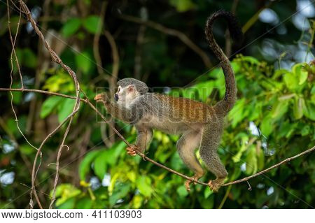 Squirrel Monkey, Saimiri Oerstedii, Sitting On The Tree Trunk With Green Leaves, Corcovado Np, Costa