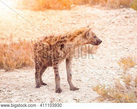 Hyena, Or Hyaena, Feliform Carnivoran Mammal In African Savanna. Etosha National Park, Namibia, Afri