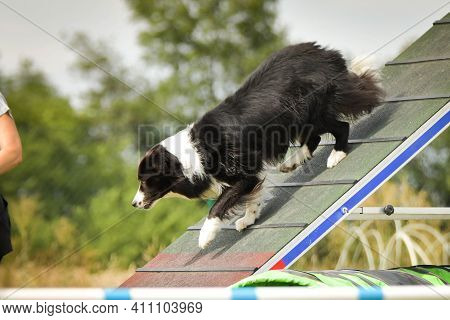 Border Collie, Is Running In Agility.  Amazing Evening, Hurdle Having Private Agility Training For A