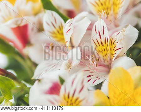 Macro Photo Of Colorful Alstroemeria Flowers. Natural Spring Background With White And Yellow Flower