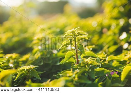 Close-up Photo Of Green Leaves At Sunset. The Sun Shines Through The Fresh Lush Foliage. Nature In T