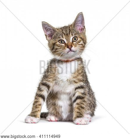 Kitten crossbreed cat wearing a collar isolated on white