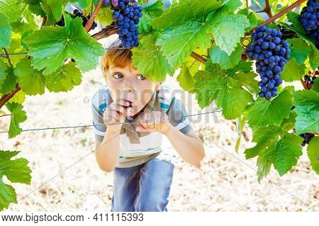 Smiling Happy Blond Kid Boy Eating Ripe Blue Grapes On Grapevine Background. Child Helping With Harv