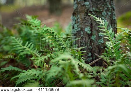 Bright Green Young Fern Leaves Close-up. Old Tree In The Background. Early Spring In A Mossy Evergre
