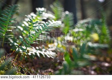 Bright Green Young Fern Leaves Close-up. Early Spring In A Mossy Evergreen Forest. Natural Pattern.