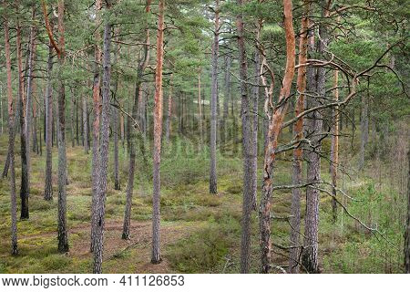 Old Mossy Pine Tree Trunks Close-up. A View Of The Coniferous Forest. Early Spring. Finland