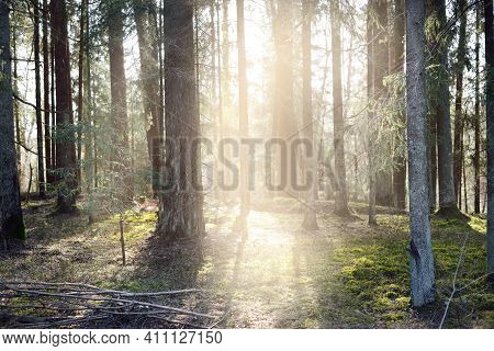 Sunlight Is Flowing Through The Old Mossy Pine Tree Trunks In A Coniferous Forest. Early Spring. Fin