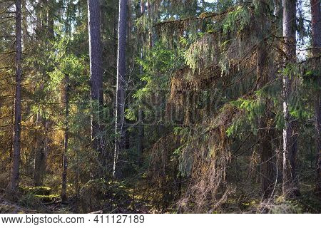 An Old Mossy Spruce Close-up. Sun Rays Through The Tree Trunks In A Coniferous Forest. Shadows On Th