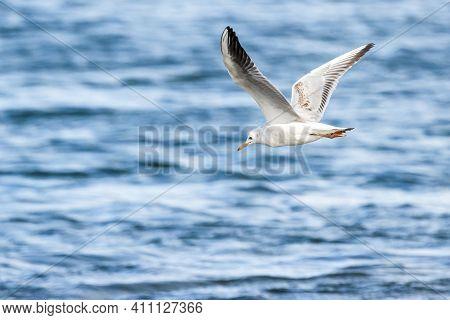 Slender-billed Gull (larus Genei) Flying At Albufera Of Valencia Natural Park.