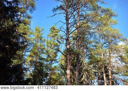 Tall Pine Trees Against Clear Blue Sky, Low Angle View. Early Spring In Finland