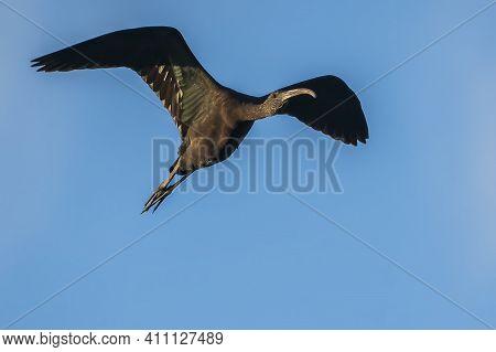 Glossy Ibis (plegadis Falcinellus) At The Ricefields At Sunset In Albufera De Valencia, Valencia, Sp