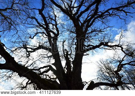 A Low-angle Shot Of The Old Mossy Oak Tree Without Leaves Against Clear Blue Sky. Sunlight Through T
