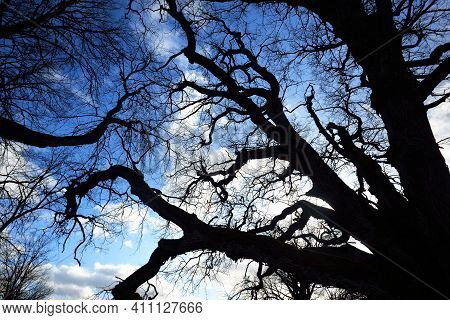 A Low-angle Shot Of The Old Mossy Oak Tree Without Leaves Against Clear Blue Sky. Early Spring. Finl
