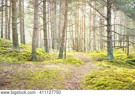 A Pathway Through The Coniferous Forest, Old Pine Trees Close-up, Moss On The Ground. Sun Rays Throu