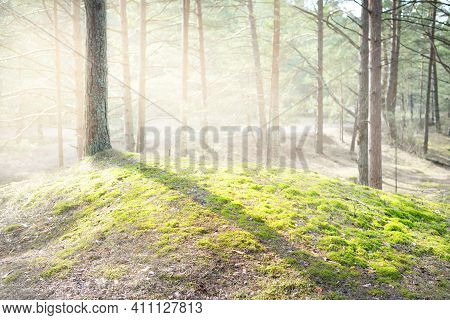 Mossy Hills Of The Coniferous Forest, Old Pine Trees Close-up. Sun Rays Through The Tree Trunks, Sha