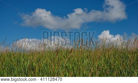 Ears Of Young Green Grass Against A Blue Sky With White Clouds. Summer Season. Web Banner. For Desig