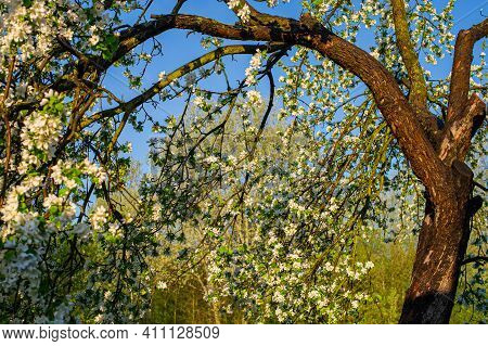 Trunk And Branches Are Covered With Flowers, A Blossoming Apple Tree In May. Web Banner. For Design.