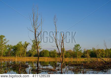 Trunks Of Dry Trees In The River Against The Background Of A Molten Forest, Morning Landscape. Sprin
