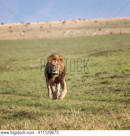 Adult male lion, pantera leo, walking through the open grasslands of the Masai Mara, Kenya. Front view.