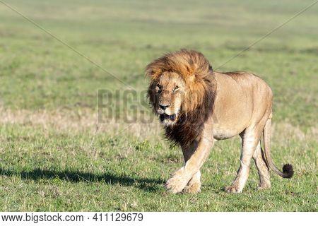 Adult male lion, panthera leo walking through grasslands of the Masai Mara