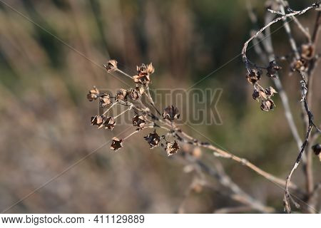 Shrubby Cinquefoil Dry Branch - Latin Name - Potentilla Fruticosa