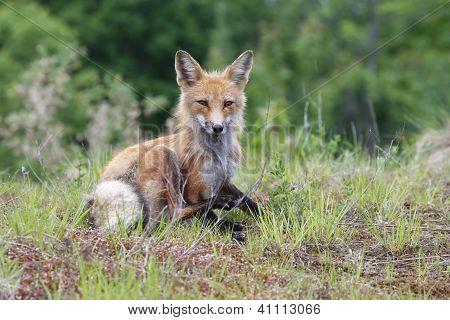 Algonquin Fox