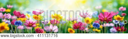 Cosmos Flowers Blooming at Flower Garden