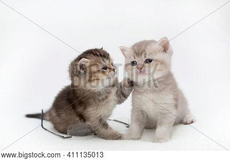 British shorthair kittens on a light background