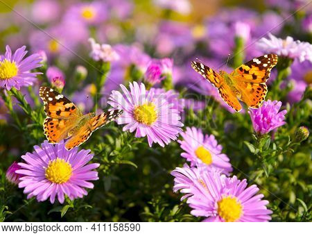 Two Butterflies - Painted Lady - Vanessa Cardui Closeup Flies In A Flowers Alpine Aster.