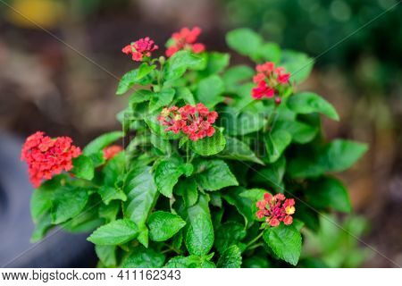 Two Vivid Pink Red Flowers Of Verbenas Or Lantanas Plant, In A Garden Pot, In A Sunny Summer Day
