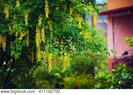 Yellow Laburnim Anagyroides Tree At The Backyard Of A Country House In Full Bloom At Spring