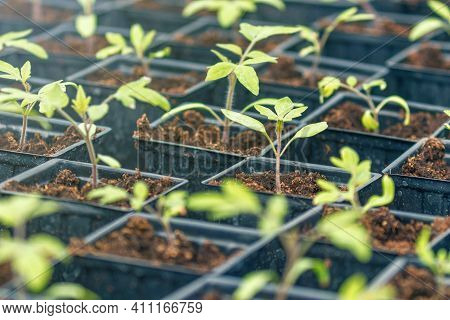 Tomato Sprouts Greenhouse, Sprouted Tomato, Potted Tomato Seedlings. Spring Seedlings.