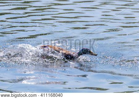 Wild Duck Mallard Splashing Anas Platyrhynchos. Male Duck