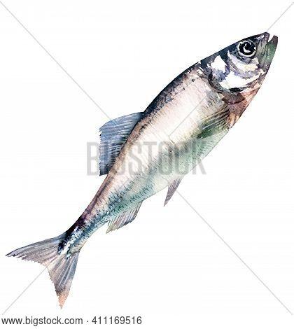Herring Fish Isolated, Marine Food Fish, Whole Fresh Saltwater Fish, Seafood, Close-up, Hand Drawn W