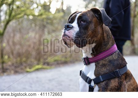 Man Walking A Cute Boxer Dog On The Hiking Trail In The Neighborhood Park. Taken In Surrey, Greater