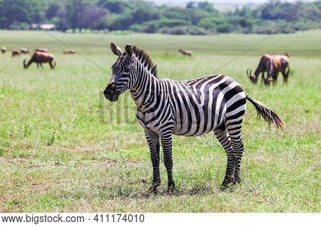 Plains Zebra (equus Quagga) In A Green Savanna