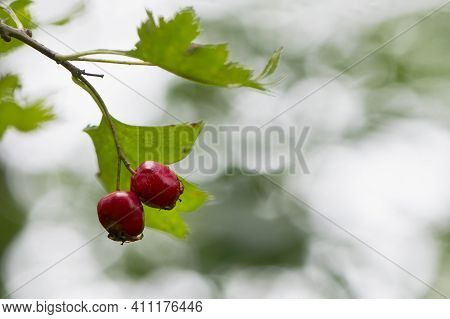 Crataegus, Autumn Forest Red Berries On A Branch. Ripe Red Berries On The Tree In The Autumn. Red Fr