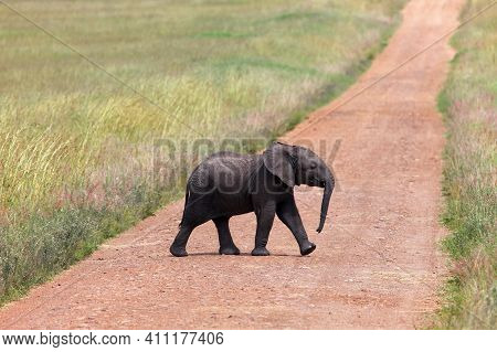 Baby African Bush Elephant (loxodonta Africana) Crossing The Road