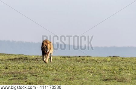 Adult male lion, panthera leo walking through grasslands of the Masai Mara. Blue sky background with space for text.