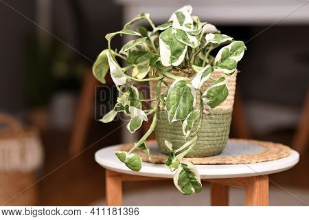 Tropical Pothos Houseplant With Variegated Leaves In Basket Flower Pot On Coffee Table