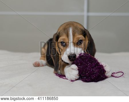 A Small Beagle Puppy Nibbles On Thread While Lying On The Bed