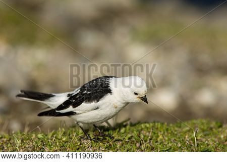 Beautiful Small Passerine Bird, Snow Bunting (plectrophenax Nivalis), Looking For Something To Eat