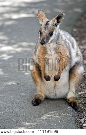 The Yellow Footed Rock Wallaby Is Grey, Brown, And White With A Long Tail
